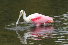 Roseate Spoonbill Hunting In Water Royalty Free Stock Image