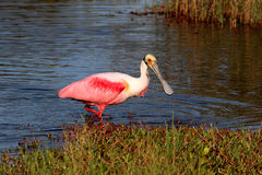 Roseate Spoonbill Hunting In Water Stock Photo