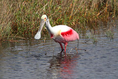 Roseate Spoonbill Hunting In Water Royalty Free Stock Photography