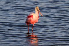 Roseate Spoonbill Hunting In Water Royalty Free Stock Photos