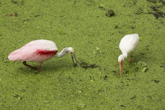 Roseate spoonbill i biały ibisa gmeranie dla jedzenia, Floryda wigilia Zdjęcie Royalty Free