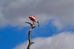 Roseate Spoonbill i träd Fotografering för Bildbyråer