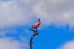 Roseate Spoonbill i träd Royaltyfri Fotografi
