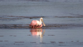 Roseate Spoonbill, J n Ding Darling National Wildlife Refug Royaltyfri Fotografi
