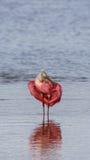 Roseate Spoonbill, J.N. Ding Darling National Wildlife Refug. Roseate Spoonbill & x28;Platalea ajaja& x29;, J.N. Ding Darling National Wildlife Refuge, Sanibel Royalty Free Stock Photography