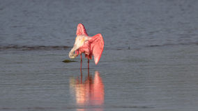 Roseate Spoonbill, J.N. Ding Darling National Wildlife Refug Royalty Free Stock Photo