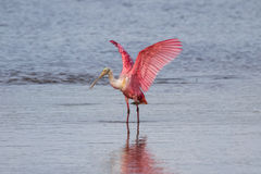 Roseate Spoonbill, J.N. Ding Darling National Wildlife Refug Stock Images