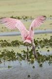 Roseate spoonbill lądowanie w bagnie w bożych narodzeniach, Floryda Obraz Royalty Free