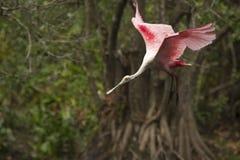 Roseate spoonbill lądowanie z skrzydłami rozpostartymi w Floryda ev Zdjęcie Royalty Free