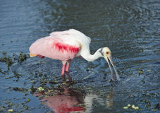 Roseate Spoonbill in a lake Stock Photo