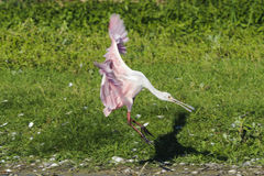Roseate Spoonbill landing shadow Royalty Free Stock Photos