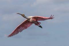 Roseate Spoonbill latanie, J n Ding Kochany obywatel Wildlif Obraz Royalty Free