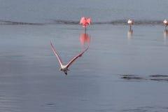 Roseate Spoonbill latanie, J n Ding Kochany obywatel Wildlif Fotografia Royalty Free