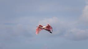 Roseate Spoonbill latanie, J n Ding Kochany obywatel Wildlif Zdjęcia Royalty Free