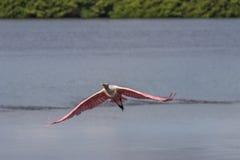 Roseate Spoonbill latanie, J n Ding Kochany obywatel Wildlif Zdjęcia Stock