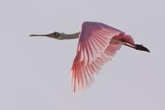 Roseate Spoonbill latanie, J n Ding Kochany obywatel Wildlif Zdjęcie Stock
