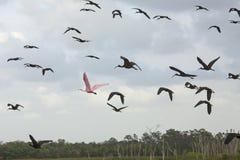 Roseate spoonbill latanie z glansowanymi ibisami przy Orlando bagnami Obraz Stock