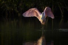 Roseate Spoonbill in a Mangrove. In Ding Darling Wildlife Refuge on Sanibel Island Florida royalty free stock photo