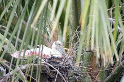 Roseate Spoonbill on Nest Stock Photo