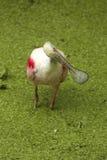Roseate spoonbill obraca swój głowę w Floryda bagnie Zdjęcie Royalty Free