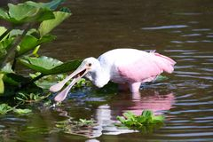 Roseate Spoonbill in Orlando Florida stock images