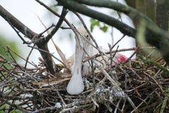 Roseate Spoonbill på rede Arkivfoto