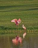Roseate Spoonbill Pair, Florida. Stiking pink color distinguishes the spoonbills found in Florida and othe gulf coast waters Stock Photo