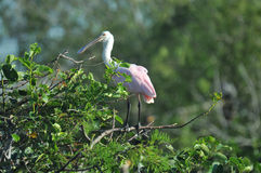 Roseate Spoonbill perched on branch. Stock Image