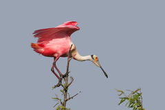 Roseate Spoonbill Perched in a Tree Royalty Free Stock Images