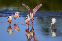 Roseate spoonbill, platalea ajaja Royalty Free Stock Photo