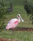 Roseate Spoonbill, Platalea ajaja. Standing on one leg on golf course with green grass in background Royalty Free Stock Photo