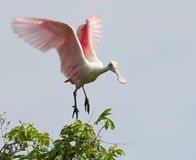 Roseate Spoonbill, Platalea ajaja. Landing in tree royalty free stock photography