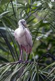 Roseate Spoonbill (Platalea ajaja or Ajaia ajaja): Royalty Free Stock Photos