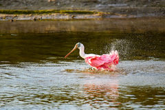 Roseate spoonbill Platalea ajaja. Bathing in a water Royalty Free Stock Photo