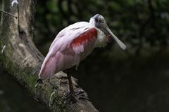 Roseate spoonbill Platalea ajaja basking in the sun. Beautiful captive Roseate Spoonbill Platalea ajaja basking in the sun on a fallen tree stock photo