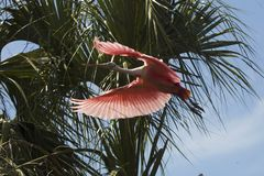 Roseate spoonbill flying near tropical foliage in St. Augustine, Florida stock photos