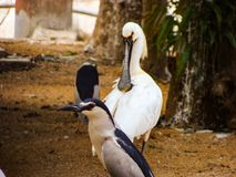 Royal Spoonbill Stock Photography