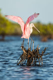Roseate spoonbill (Platalea ajaja). One of the most common birds in Florida Royalty Free Stock Photo