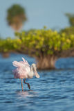 Roseate spoonbill (Platalea ajaja). One of the most common birds in Florida Royalty Free Stock Photos