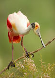 Roseate spoonbill (Platalea ajaja) perched on a branch Royalty Free Stock Photo