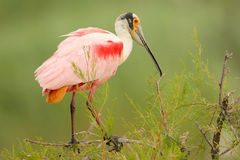Roseate spoonbill (Platalea ajaja) perched on a branch Stock Photography