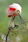 Roseate spoonbill (Platalea ajaja) perched on a branch Royalty Free Stock Photos