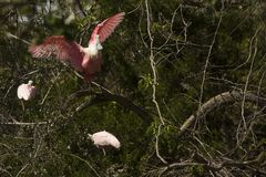 Roseate spoonbill deep in a tree in St. Augustine, Florida stock photo