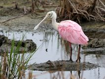 Roseate Spoonbill - Platalea ajaja. A Roseate Spoonbill Platalea ajaja on South Padre Island, Texas stock photo