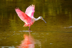 Roseate spoonbill (Platalea ajaja). Spreading wings royalty free stock photo