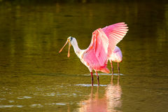 Roseate spoonbill (Platalea ajaja). Spreading wings royalty free stock photography