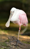 Roseate Spoonbill Stock Image