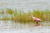 Roseate spoonbill, Platalea ajaja, wading in lake Royalty Free Stock Images