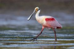 Roseate Spoonbill wading in a shallow lagoon - Pinellas County, stock photography
