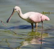 Roseate Spoonbill in a Pond Stock Photo